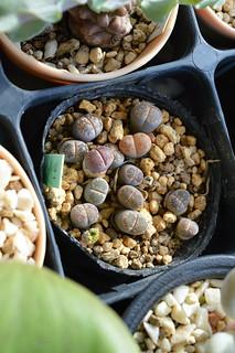 DSC_4473 Lithops salicola 'Bacchus'   リトープス バッカス