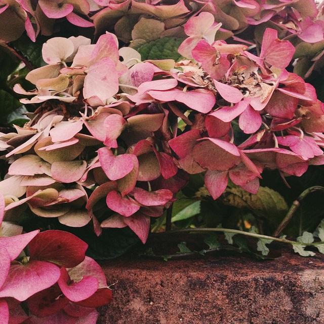 autumnal pink hydrangea