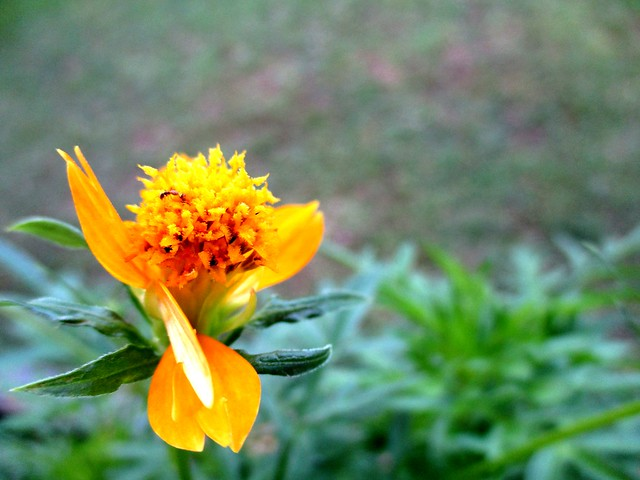 Ulam raja flower 3