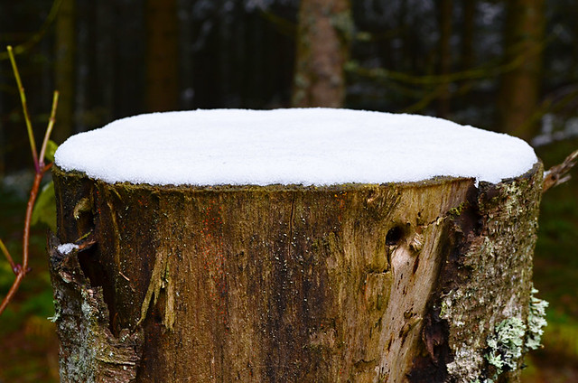 Snowy tree stump, Black Forest, Germany