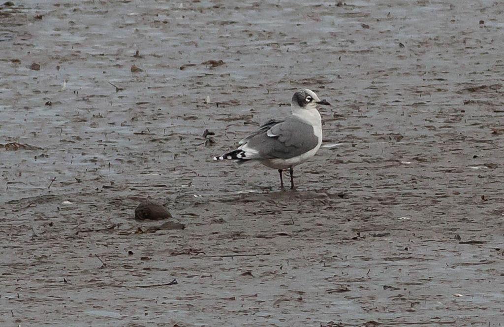 Franklin's Gull, Hayle Estuary, M.Curtis