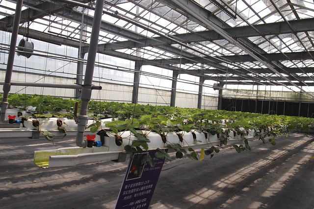 參訪向陽光電農業大棚,在太陽能板下種草莓。攝影:李育琴