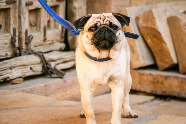 A family dog in Jaisalmer, India ジャイサルメールの飼い犬