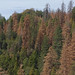 Dying conifers, particularly ponderosa pine and sugar pine