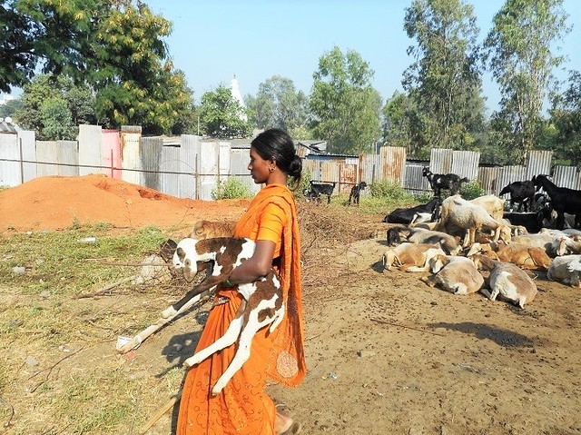 While men take the sheep for grazing in the surrounding areas, women tend to the young ones.
