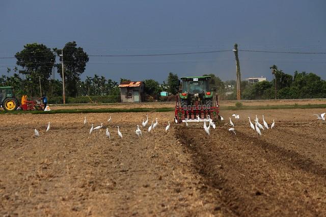 白鷺鷥與播種機。攝影:廖靜蕙