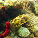 porcupine pufferfish  key west sailing adventure