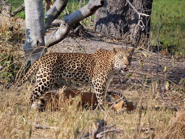 Leopardo con impala en el Chobe (Botswana)