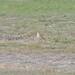 Isabelline wheatear