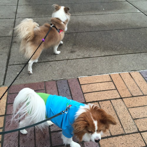 Two dogs, one in a blue sweater, attempting to walk opposite directions. They are each leashed, and the leashes go to the same point off-camera.