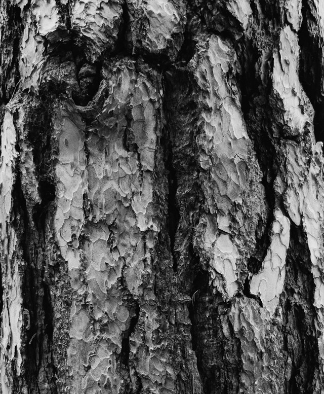 tree bark in black and white