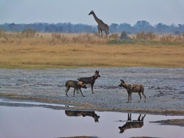 Licaones y jirafas en Botswana