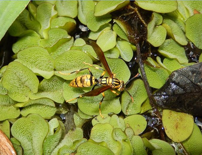馬蜂常於水池邊吸取水後回窩灑水以降蜂窩溫度,若標記後經常發現其實是同一隻來回往返。圖片攝影:陸聲山。