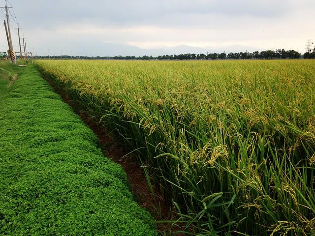 林清源以蠅翼草減少水稻田的雜草。攝影:廖靜蕙