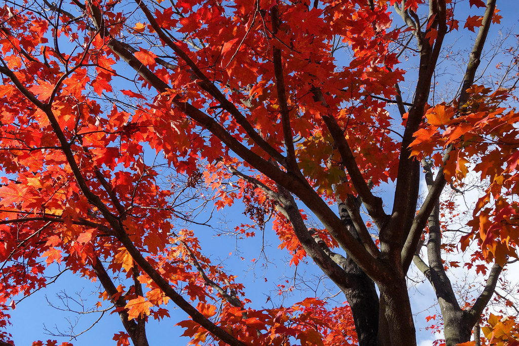 Red Tree Brightly Colored Fall Foliage At Bellevue State