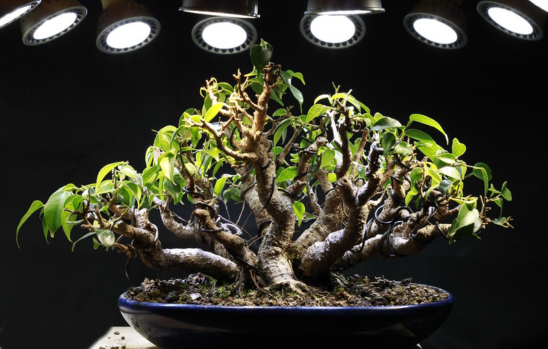 Indoor Bonsai under LED lights. - Page 16 21471700343_4ce3896fe4_c