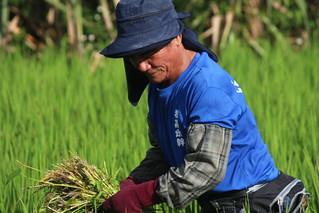 拉吉哈桿部落頭目林仁平也投入米農該生產行列。攝影:廖靜蕙