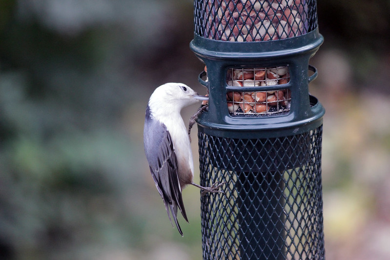 IMG_0780 Nuthatch at Peanut Feeder