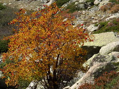 Sorbier des oiseleurs en couleurs d'automne