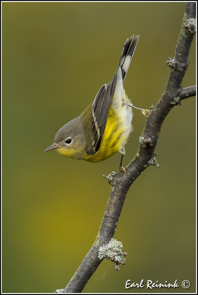 magnolia warbler fall - photo #17