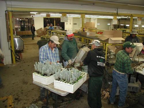 Nursery workers packing sagebrush seedlings