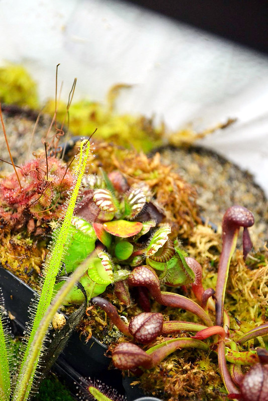 Drosera regia, Cephalotus follicularis, Darlingtonia californica, and Drosera spatulata grown indoors.