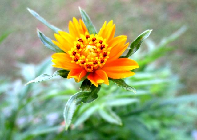 Ulam raja flower 4