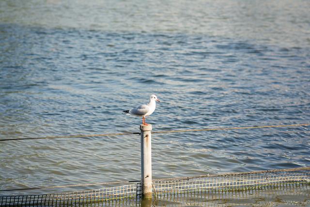 上野公園不忍池のユリカモメ