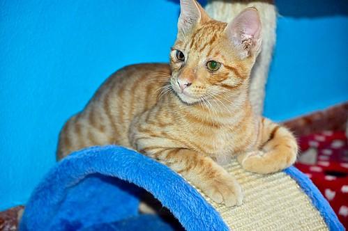 Jerry, gatito rubio guapo muy dulce y bueno, esterilizado, nacido en Abril´15 en adopción. Valencia. ADOPTADO. 20828328473_59f43b5b19