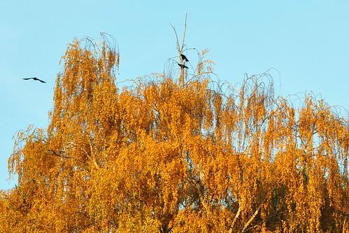 Herbst Krähe Krähen Rabenkrähen Ladenburg Neckar Oktober 2015 Foto Brigitte Stolle