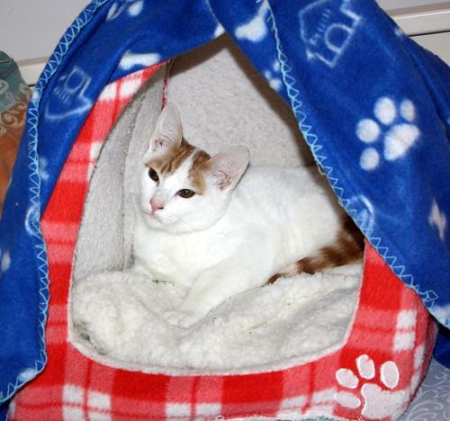 Gary, gatito blanco y naranja cruce Van Turco esterilizado muy activo nacido en Julio´16, en adopción. Valencia. ADOPTADO. 31322369545_685385a4aa