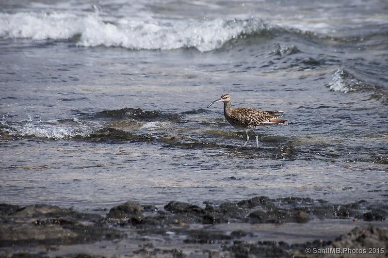 El zarapito trinador caminando por la orilla