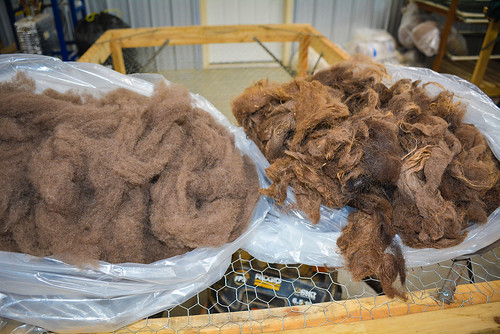 Bison hair after processing through the dehairing machine (l) and the raw bison hair (r).