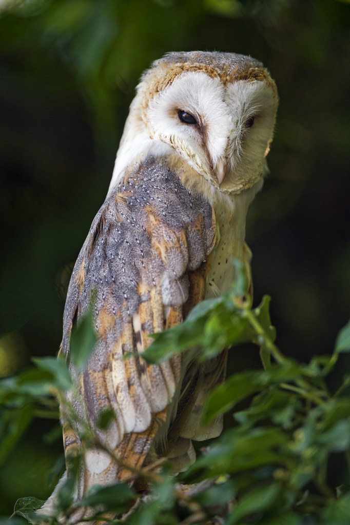 Barn Owl In The Tree A Photo Of A Barn Owl Perched In A
