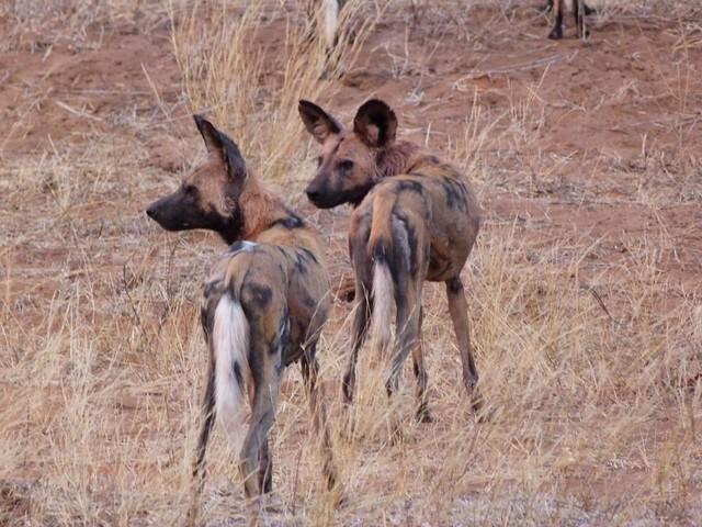 Licaones (perros salvajes) que pudimos observar y fotografiar durante nuestro viaje de safari en Botswana