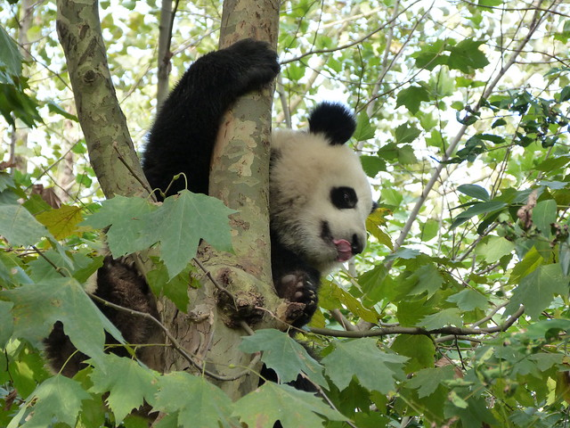 Oso panda fotografiado en el centro de conservación y cría de Chengdú (China)