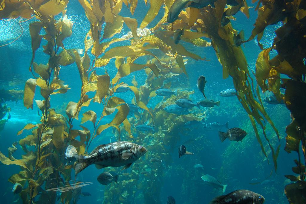 海藻森林。圖片來源:Joe Ross(CC BY-SA 2.0)。