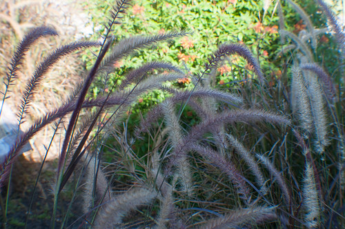 Original image of Fountain Grass before filters applied