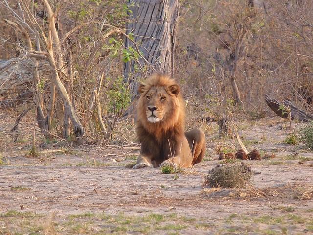 León macho en Chobe (Botswana)
