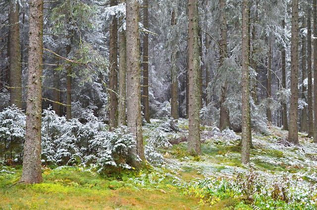 Snowy firs, Black Forest, Germany