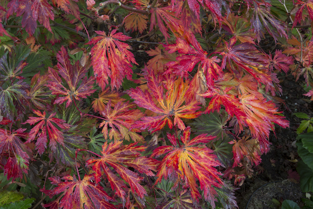 autumn leaves acer japonicum aconitifolium 39 the fern leaf. Black Bedroom Furniture Sets. Home Design Ideas