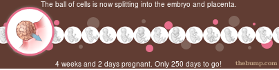 the bump thebump.com pregnancy fetal development ticker embryo 4 weeks