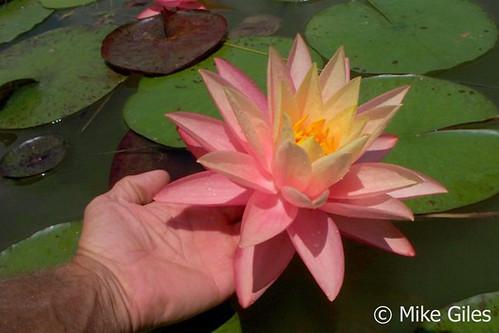 Waterlelie Haunting Beauty / Nymphaea Haunting Beauty