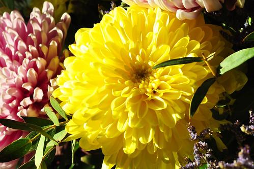 Dahlie Dahlia Georgine Hochsommer Spätsommer Herbst Bauerngarten Blumenstrauß gelb hellviolett Foto Brigitte Stolle September 2015