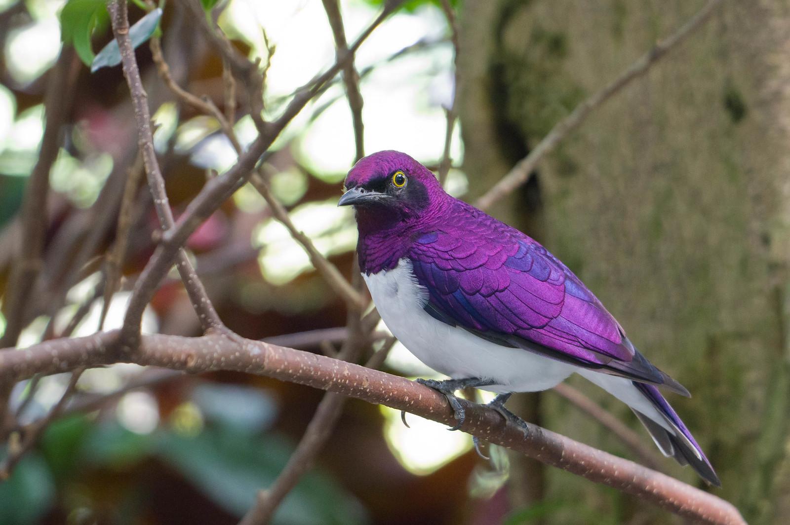 白腹紫椋鳥