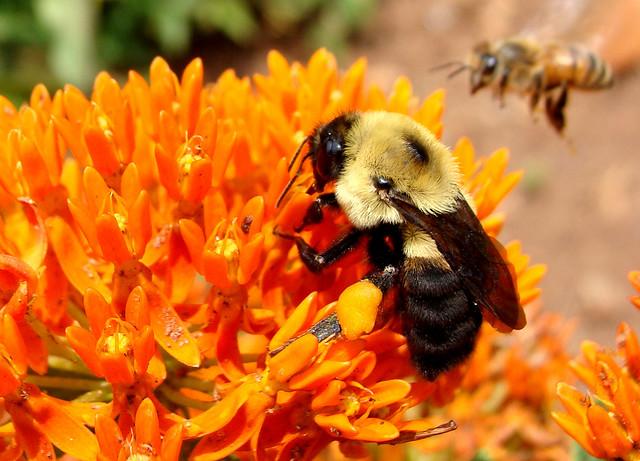 蜜蜂是植物授粉的好幫手,也是農夫不可缺的夥伴。攝影:Martin LaBar。CC BY-NC 2.0