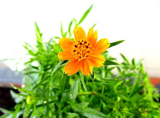 Ulam raja flower 1