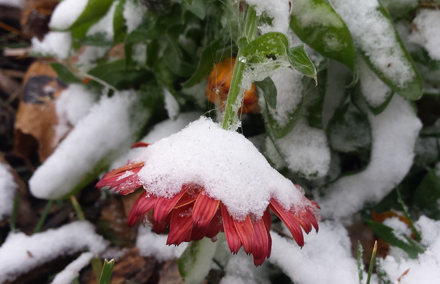 dark orange calendula drooping under the weight of a small pile of snow
