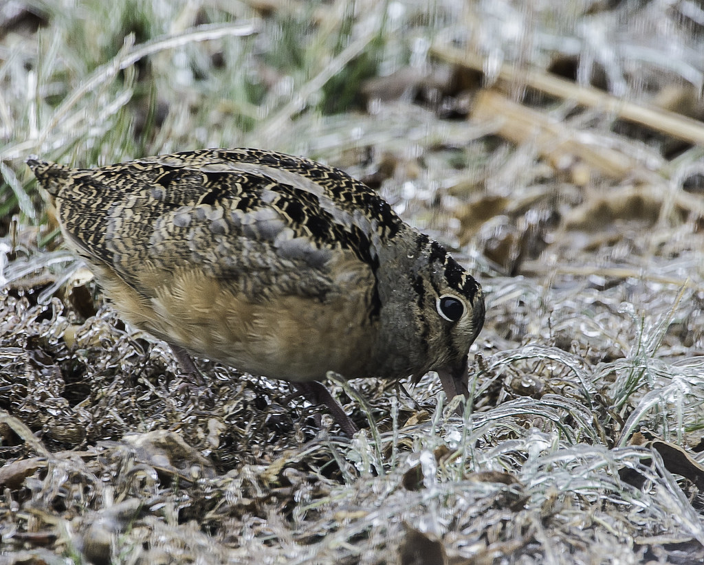 Photo of woodcock by Joseph Soares
