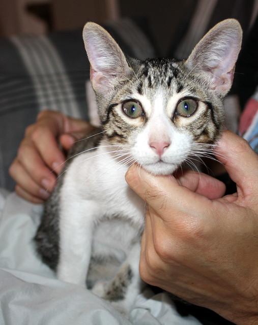 FALLECIDO- Marvel, gatito blanquipardo bebé en Adopción Especial, nacido en Junio´15, en adopción. Valencia. 21899910448_6d4583ff27_z